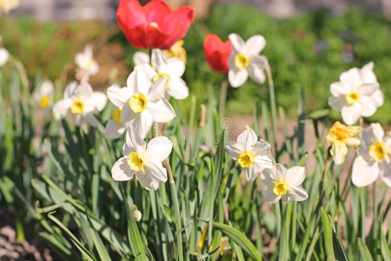 Sch?ne Blumen im Garten Narzissen und Tulpen stockbilder