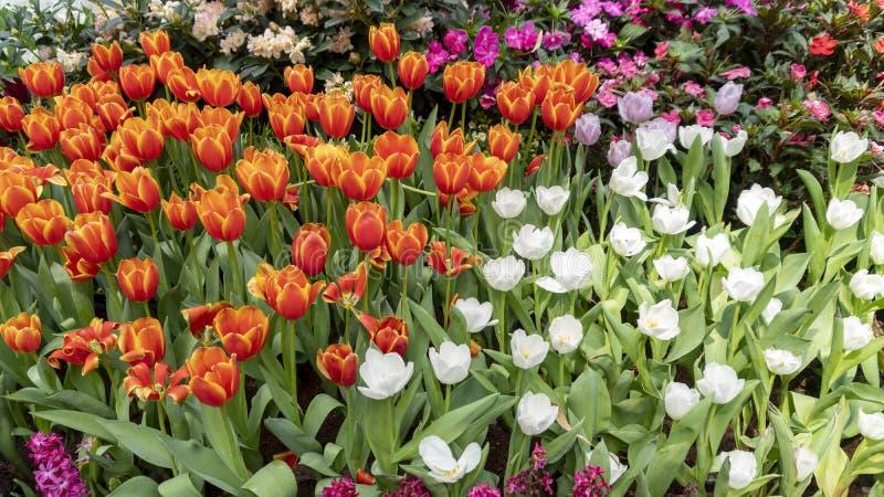 Sch?ne bunte Tulpen in der Gartennatur im Fr?hjahr, sch?ner Naturhintergrund stockfotos