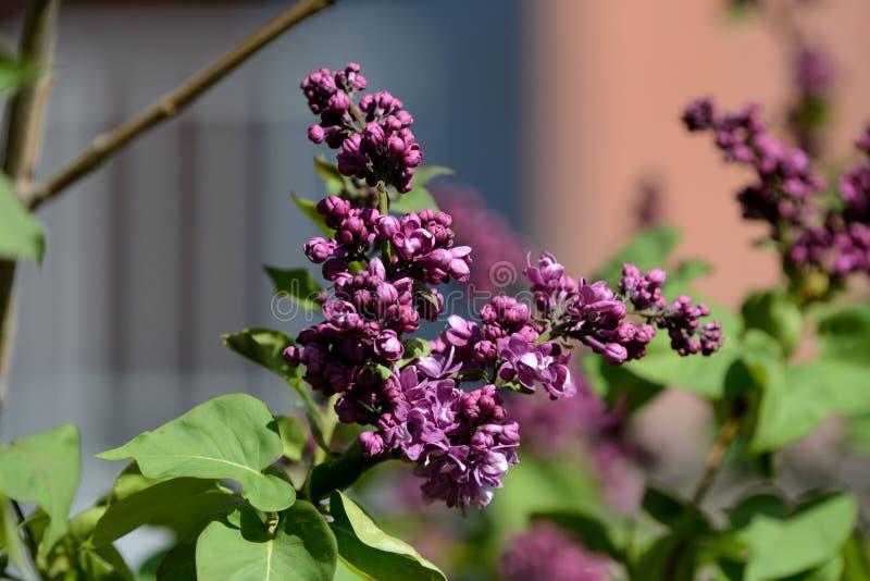 Sch?ne Flieder f?ngt an, im Garten an einem sonnigen Fr?hlingstag zu bl?hen lizenzfreie stockfotos