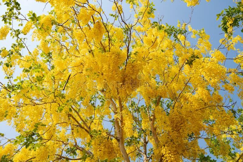 Sch?ne gelbe bl?hende Blumen, gelbe thail?ndische Blume, Bl?tter des goldene Duschbaums oder des goldener Regen-Baums im Sommerge stockbild