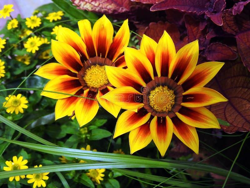 Sch?ne gelbe Blumen im Park, Litauen lizenzfreie stockfotos