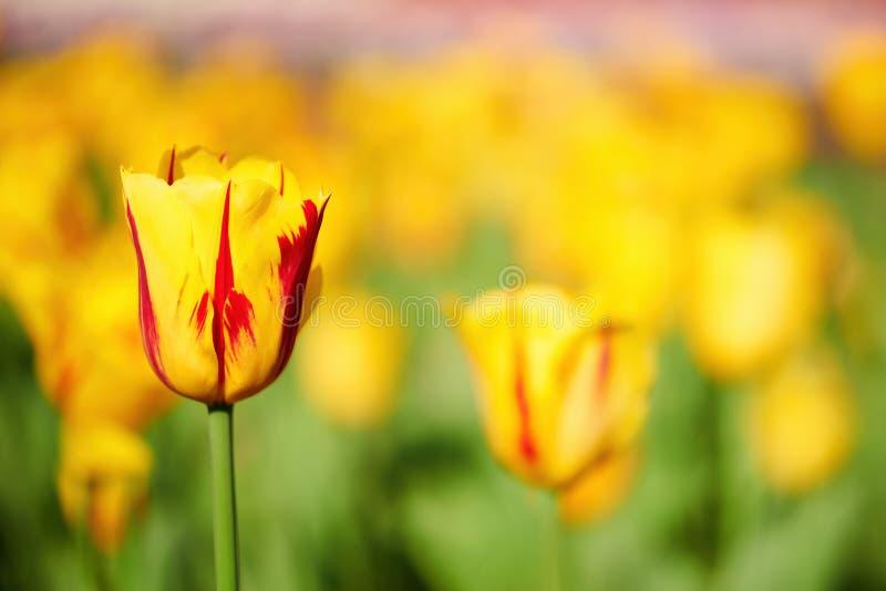 Sch?ne gelbe und rote Tulpe lizenzfreie stockfotografie