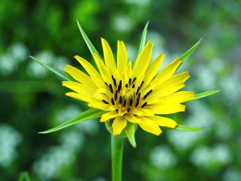 Sch?ne gelbe wilde Blume in der Wiese, Litauen lizenzfreies stockbild