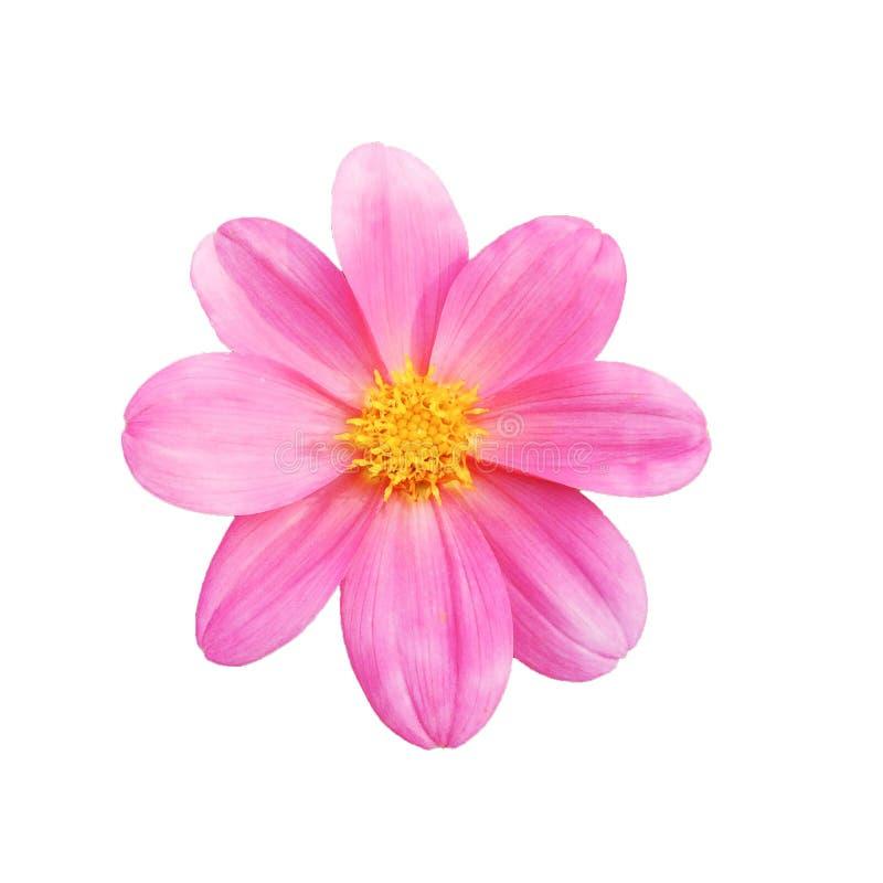 Sch?ne rosa Dahlienblume lokalisiert auf wei?em Hintergrund lizenzfreies stockbild