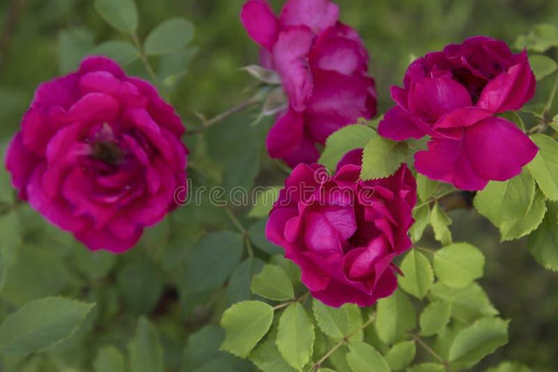 Sch?ne rosa kletternde Rosen im Fr?hjahr im Garten stockfotografie