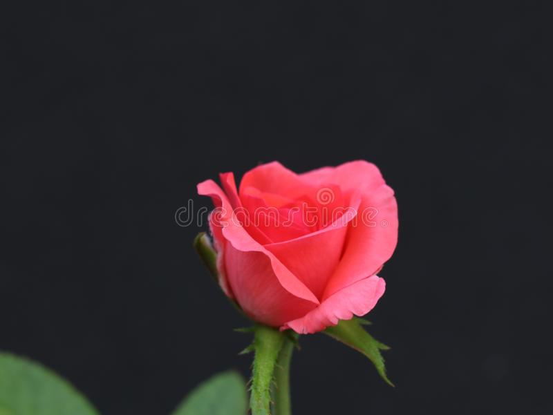 Sch?ne rosafarbene Rose lizenzfreie stockfotos