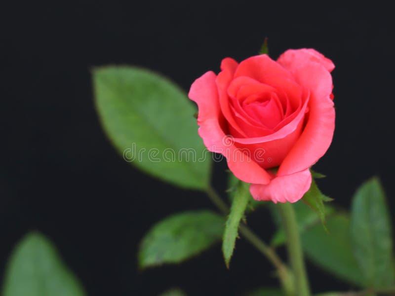 Sch?ne rosafarbene Rose stockbild