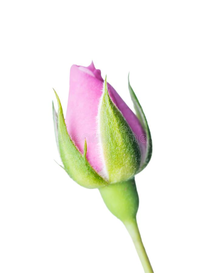Sch?ne Rose Flower Bud Isolated auf wei?em Hintergrund stockbild