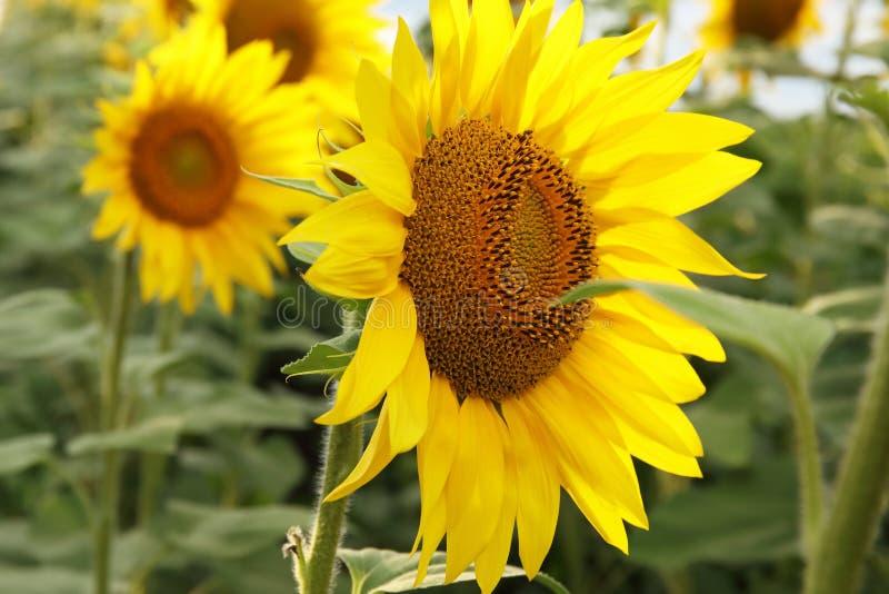 Sch?ne Sonnenblumen im nat?rlichen Hintergrund des Feldes, Sonnenblumenbl?hen stockfotos