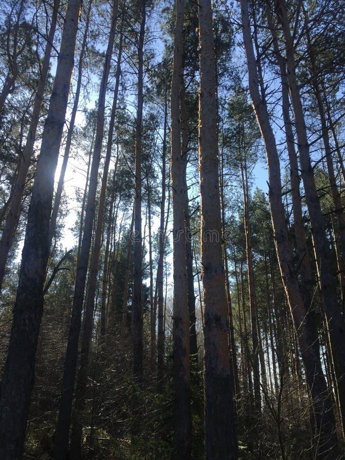 Sch?ne Sonnenstrahlen im Kiefernwald stockfotos