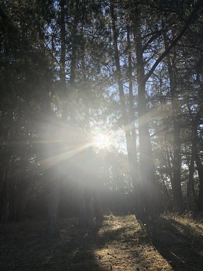 Sch?ne Sonnenstrahlen im Kiefernwald lizenzfreies stockbild