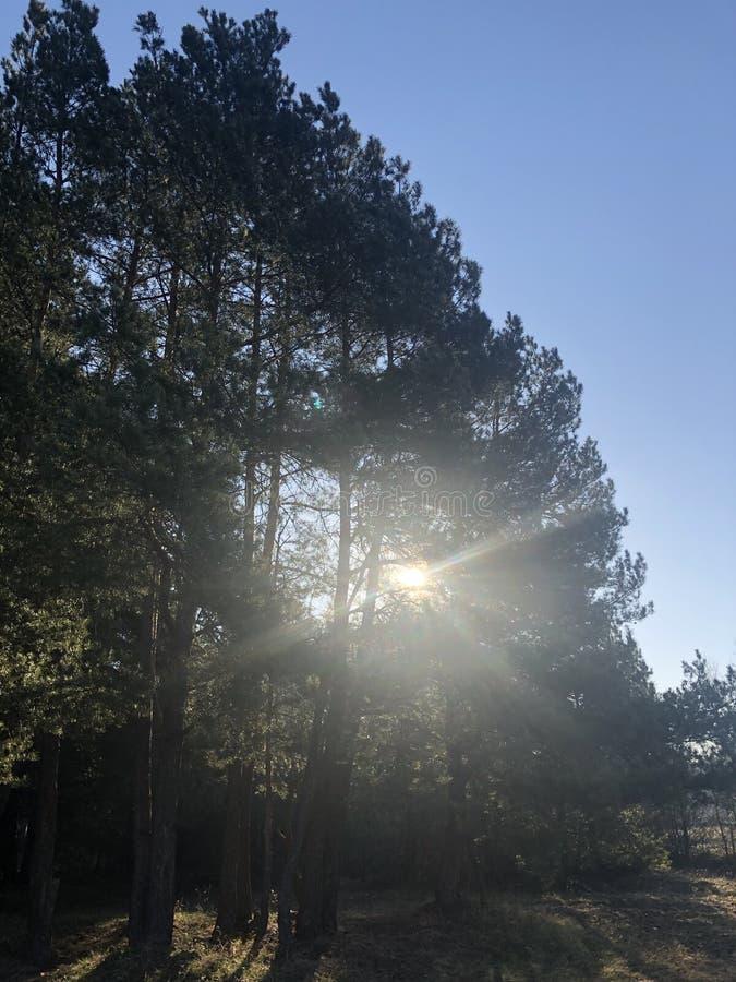 Sch?ne Sonnenstrahlen im Kiefernwald stockfotografie