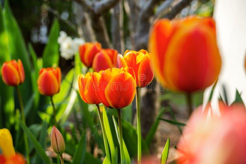Sch?ne Tulpen auf der Fr?hlingssonne, -elsass, -frische und -klarheit lizenzfreies stockbild