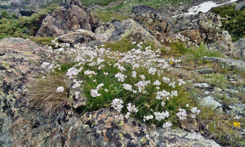 Sch?ne wei?e Blumen in den Bergen stockfoto
