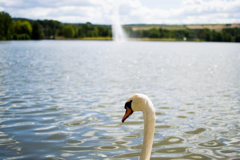 Sch?ne wei?e Gans, die in einem Pool oder in einem See mit einem Brunnen am Hintergrund schwimmt stockbilder