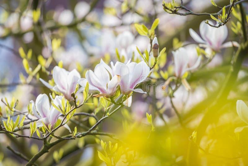Sch?ne wei?e und purpurrote Magnolie, die im Fr?hjahr durch gelbe Bl?tter bl?ht stockbilder