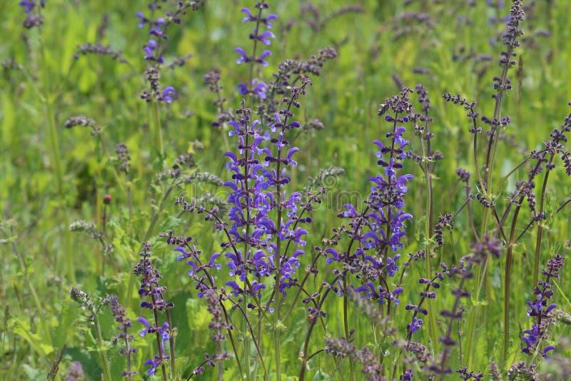 Sch?ne Wiesenblumen Blühender Salbei, Salvia-pratensis lizenzfreies stockfoto
