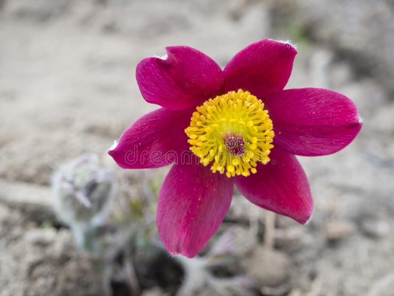 Sch?ner Abschluss herauf Pulsatilla pratensis Purpurrote violette Blumenknospe kleine pasque Blume, Graslandkrokus und cutleaf lizenzfreie stockfotos