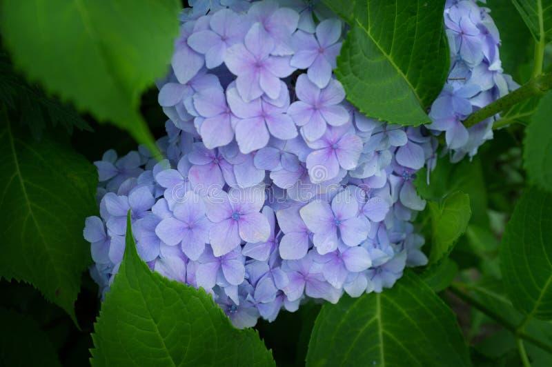 Sch?ner blauer Hortensie- oder Hortensiablumenabschlu? oben lizenzfreies stockbild