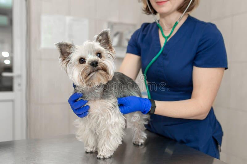 Sch?ner Doktor untersuchen kleine nette Hunderasse Yorkshire Terrier mit einem Stethoskop in einer Veterin?rklinik Gl?cklicher Hu lizenzfreies stockbild