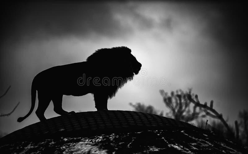 Schöner mächtiger Löwe. Dramatisches Schwarzweißfoto lizenzfreies stockfoto