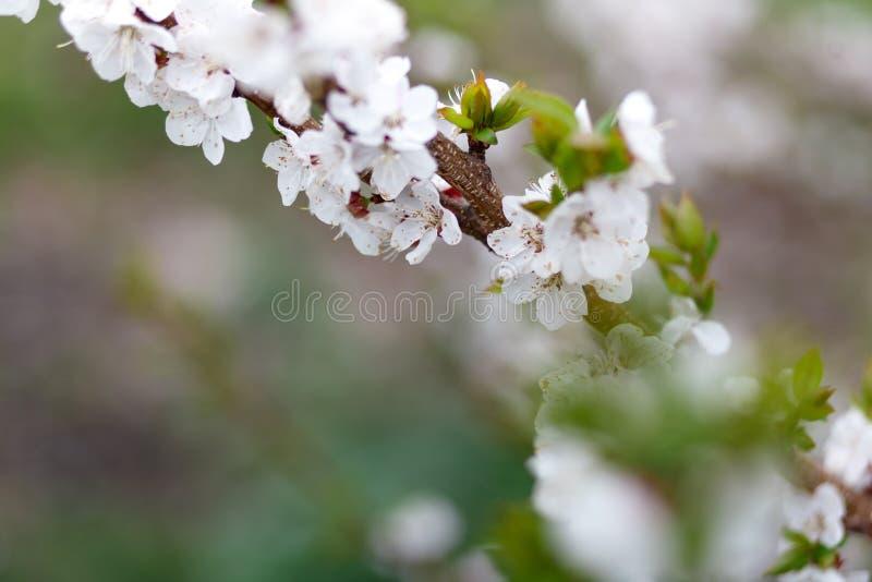 Sch?ner nat?rlicher Hintergrund Sommer, Fr?hlingskonzepte Frische Kirschblumen in den leichten Strahlen der warmen Sonne stockfotografie