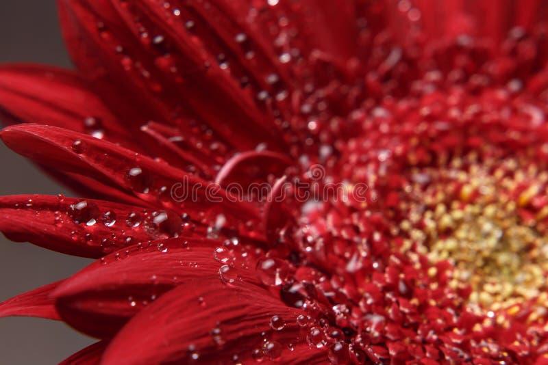 Sch?ner nat?rlicher Hintergrund Sommer, Fr?hlingskonzepte Große schöne Wassertropfen auf frischer roter Gerber-Blume auf dunklem  stockbilder