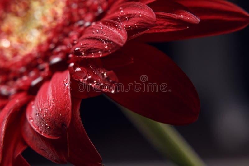 Sch?ner nat?rlicher Hintergrund Sommer, Fr?hlingskonzepte Zusammenfassung eines roten Gerber-Gänseblümchenmakro mit Wassertröpfch lizenzfreie stockbilder