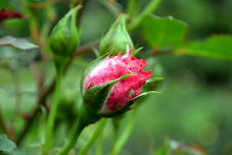 Sch?ner rosa Rosebud stockfotografie