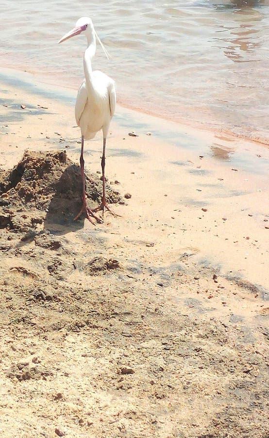 Sch?ner wei?er Reiher steht auf goldenem Strand mit Palmen, selektiver Fokus ?gypten Hurghada stockfotografie