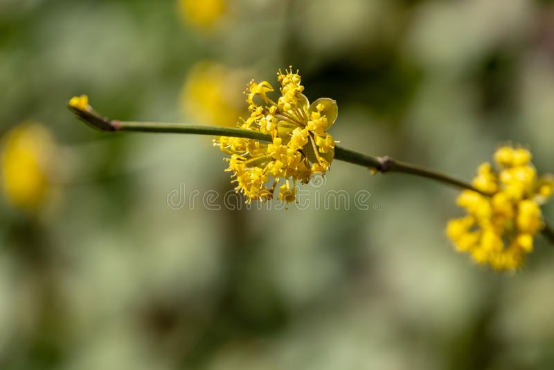Sch?ner Zweig mit hellen gelben Blumen auf unscharfem nat?rlichem gr?nem Hintergrund Weiche selektive MakrofokusKornelkirschebl?t lizenzfreies stockbild