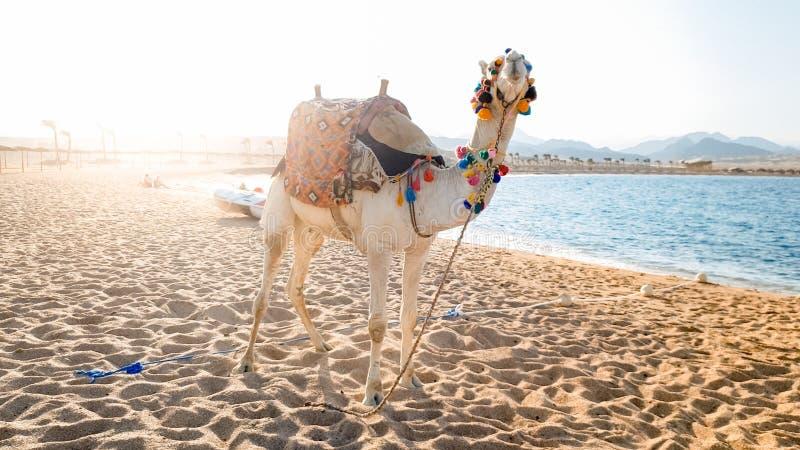 Sch?nes Bild des wei?en Kamels mit verzierter Sattelstellung auf dem Sand am Seestrand Kamele werden f?r Touristen benutzt lizenzfreie stockfotografie