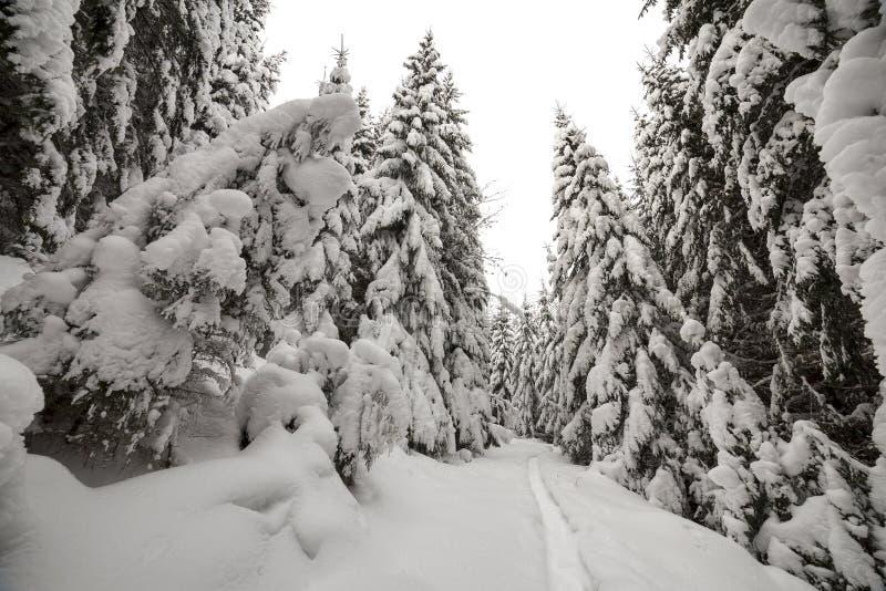 Sch?nes Bild des Winters landscape Dichter Gebirgswald mit hoher dunkelgrüner Fichte, Weg im weißen sauberen tiefen Schnee auf he lizenzfreie stockfotos