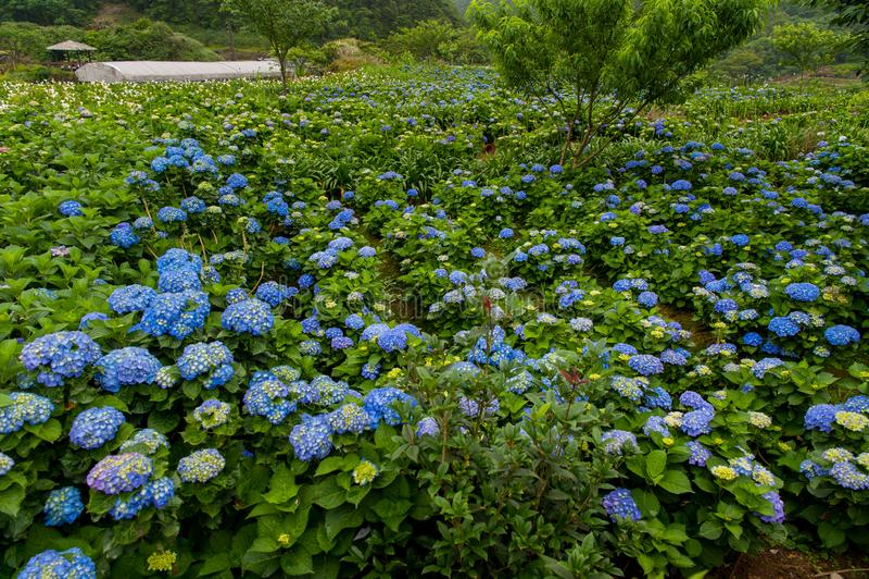 Sch?nes Blumen-Hortensie macrophylla oder Hortensiablume bl?ht lizenzfreies stockfoto