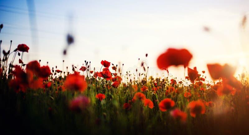 Sch?nes Feld von roten Mohnblumen im Sonnenunterganglicht stockbilder