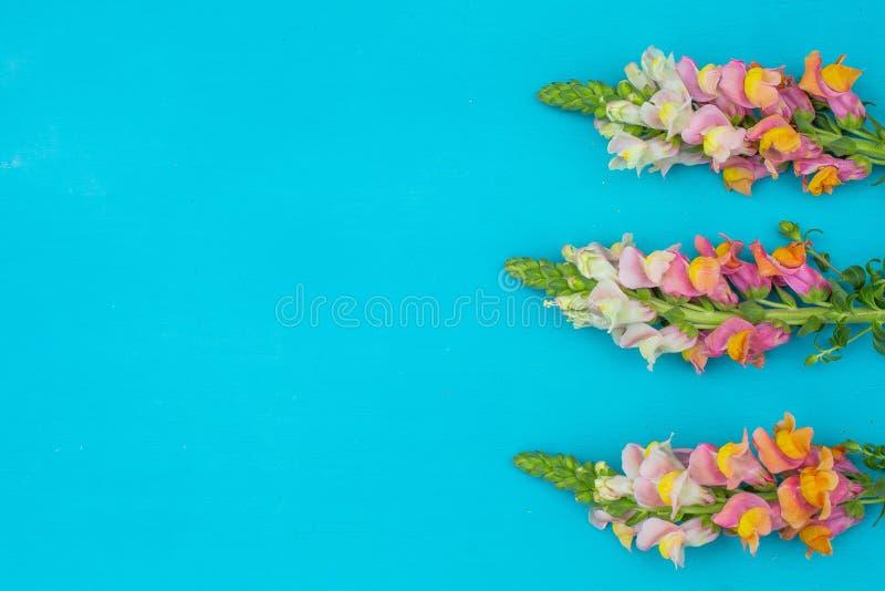 Sch?nes Fr?hlingsrosa bl?ht auf blauer Pastelltischplatteansicht Rosafarbener Blumenrand Flache Lage lizenzfreie stockbilder