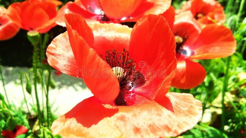 Sch?nes rotes Opium oder Mohnblume oder Papaver-Somniferum oder afeem lizenzfreies stockbild