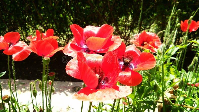 Sch?nes rotes Opium oder Mohnblume oder Papaver-Somniferum oder afeem stockbilder