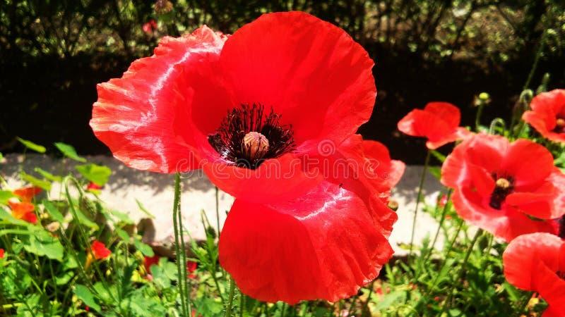 Sch?nes rotes Opium oder Mohnblume oder Papaver-Somniferum oder afeem lizenzfreies stockfoto