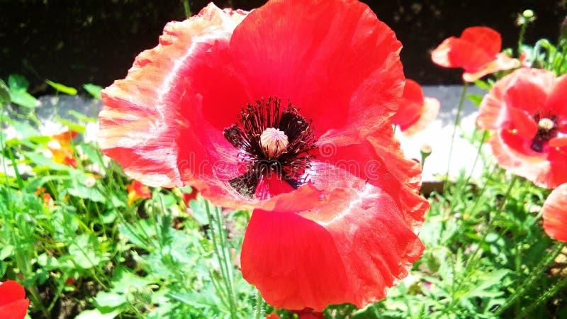 Sch?nes rotes Opium oder Mohnblume oder Papaver-Somniferum oder afeem stockfoto
