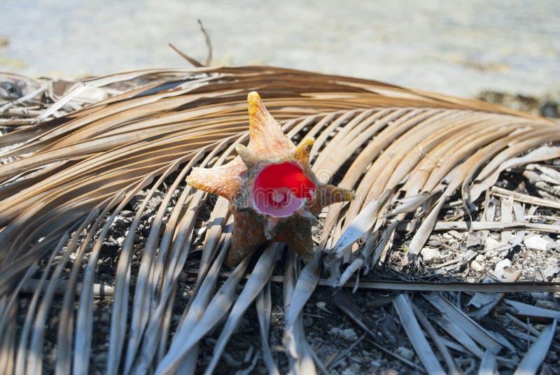Schaaldieren, Aardaandeel, fibonaccipatroon Tropisch paradijs in Guna Yala, Kuna Yala, San BLas, eilanden, Panama spiraal royalty-vrije stock fotografie