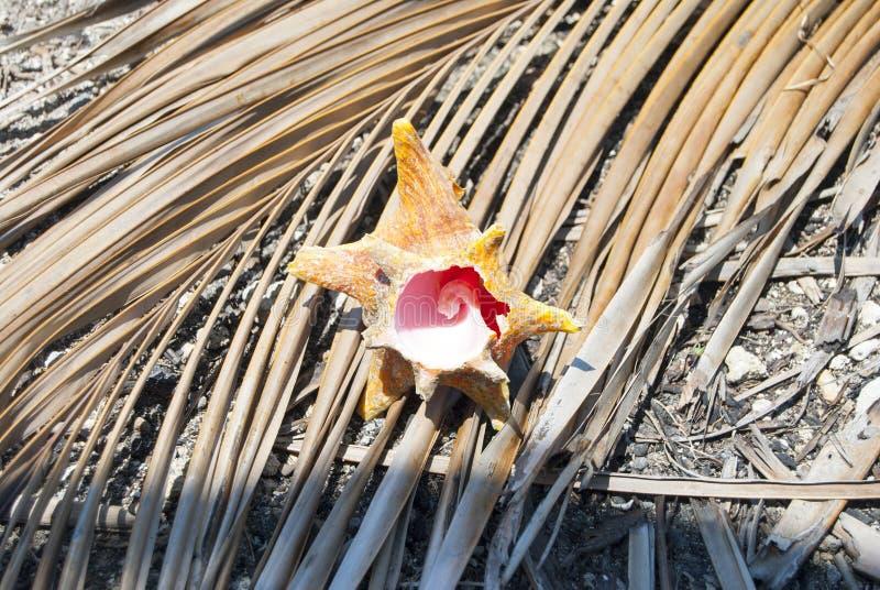 Schaaldieren, Aardaandeel, fibonaccipatroon Tropisch paradijs in Guna Yala, Kuna Yala, San BLas, eilanden, Panama spiraal stock fotografie