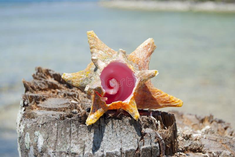 Schaaldieren, Aardaandeel, fibonaccipatroon Tropisch paradijs in Guna Yala, Kuna Yala, San BLas, eilanden, Panama spiraal royalty-vrije stock afbeelding