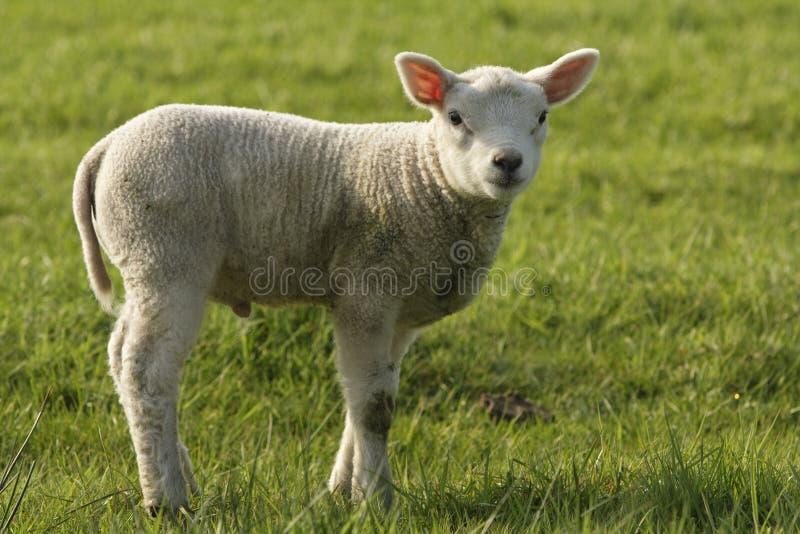 Schaap, πρόβατα στοκ φωτογραφία με δικαίωμα ελεύθερης χρήσης