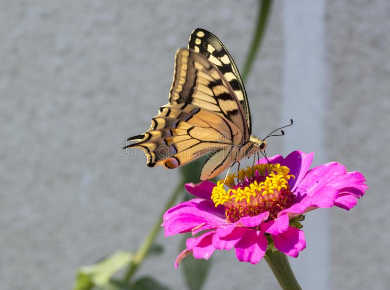 Schaarse Swallowtail stock fotografie