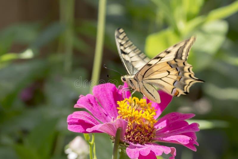Schaarse Swallowtail royalty-vrije stock foto