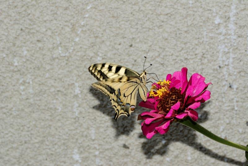 Schaarse Swallowtail stock foto's
