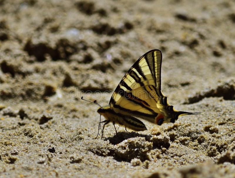 Schaarse swallowtail - Iphiclides-podalirius stock foto's