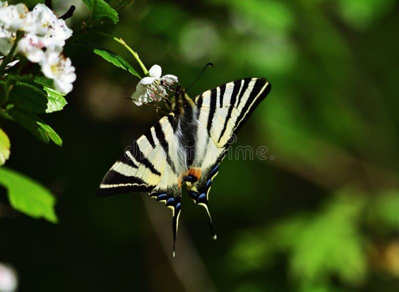 Schaarse swallowtail - Iphiclides-podalirius royalty-vrije stock foto's