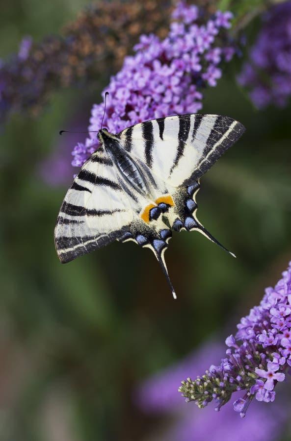 Schaarse swallowtail, mooie vlinder op bloem stock foto
